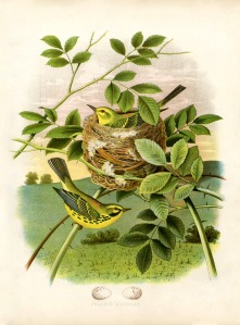 yellow-birds-nest-vintageimage-Graphics-Fairysm